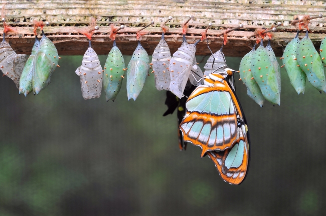 bigstock-Rows-Of-Butterfly-Cocoons-47629327